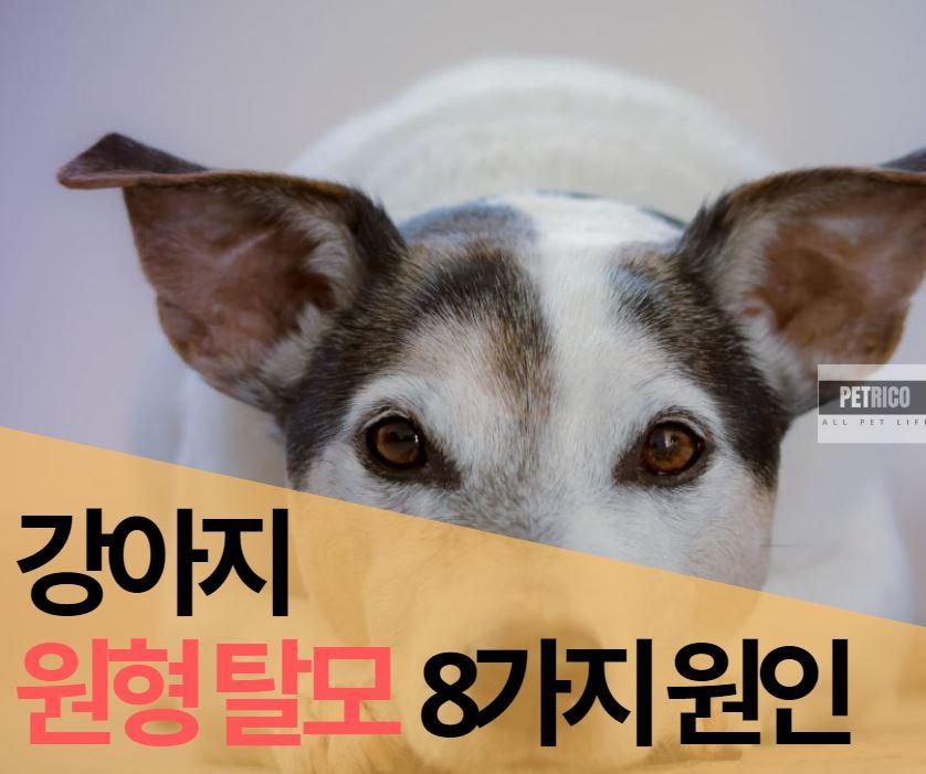 강아지 원형탈모